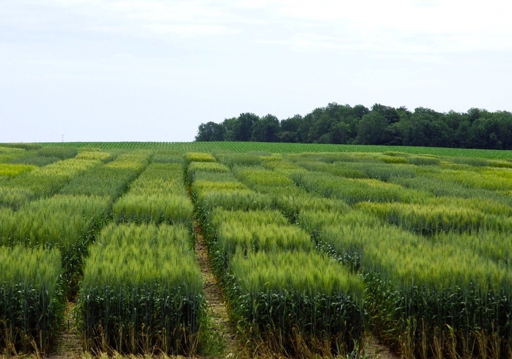 cereal variety disease guide 2017