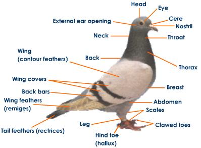 chicken bone urban dictionary