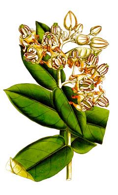 calotropis gigantea medicinal uses pdf