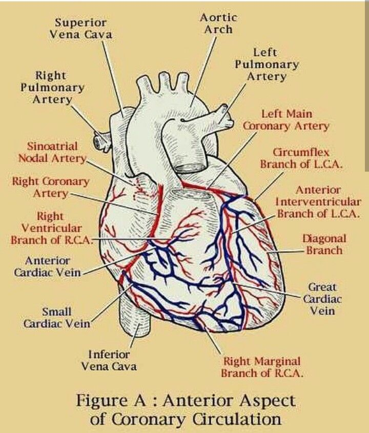 coronary circulation pdf