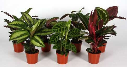 calathea care instructions