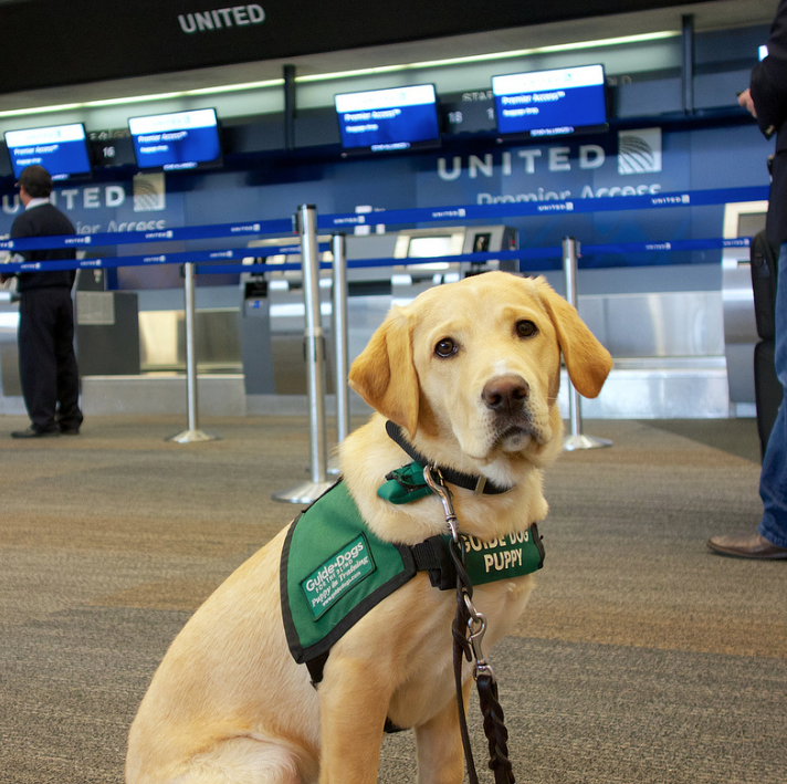 can i take a guide dog puppy to work