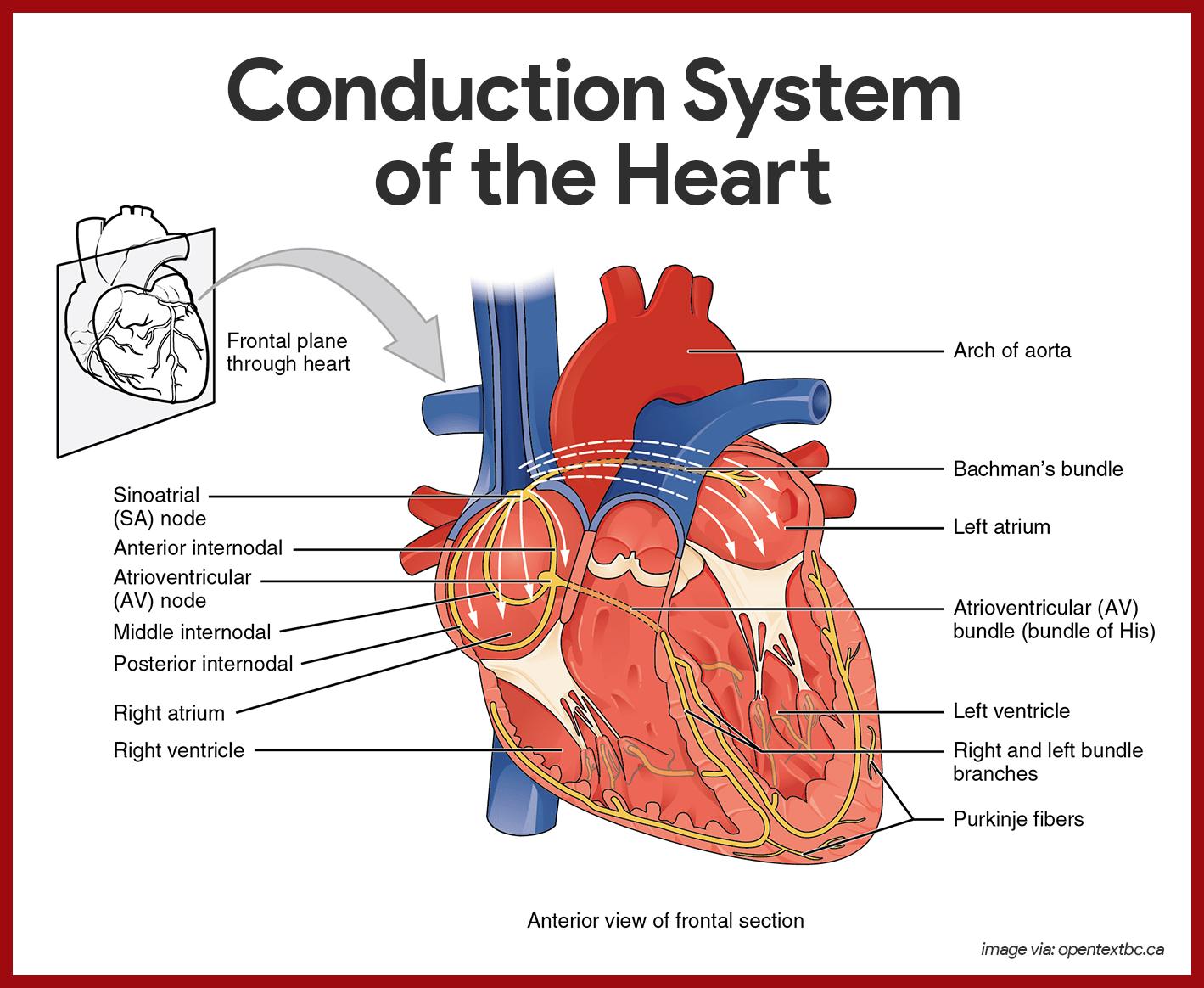 cardiovascular system anatomy and physiology pdf