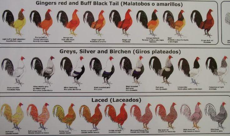 chicken breeding guide